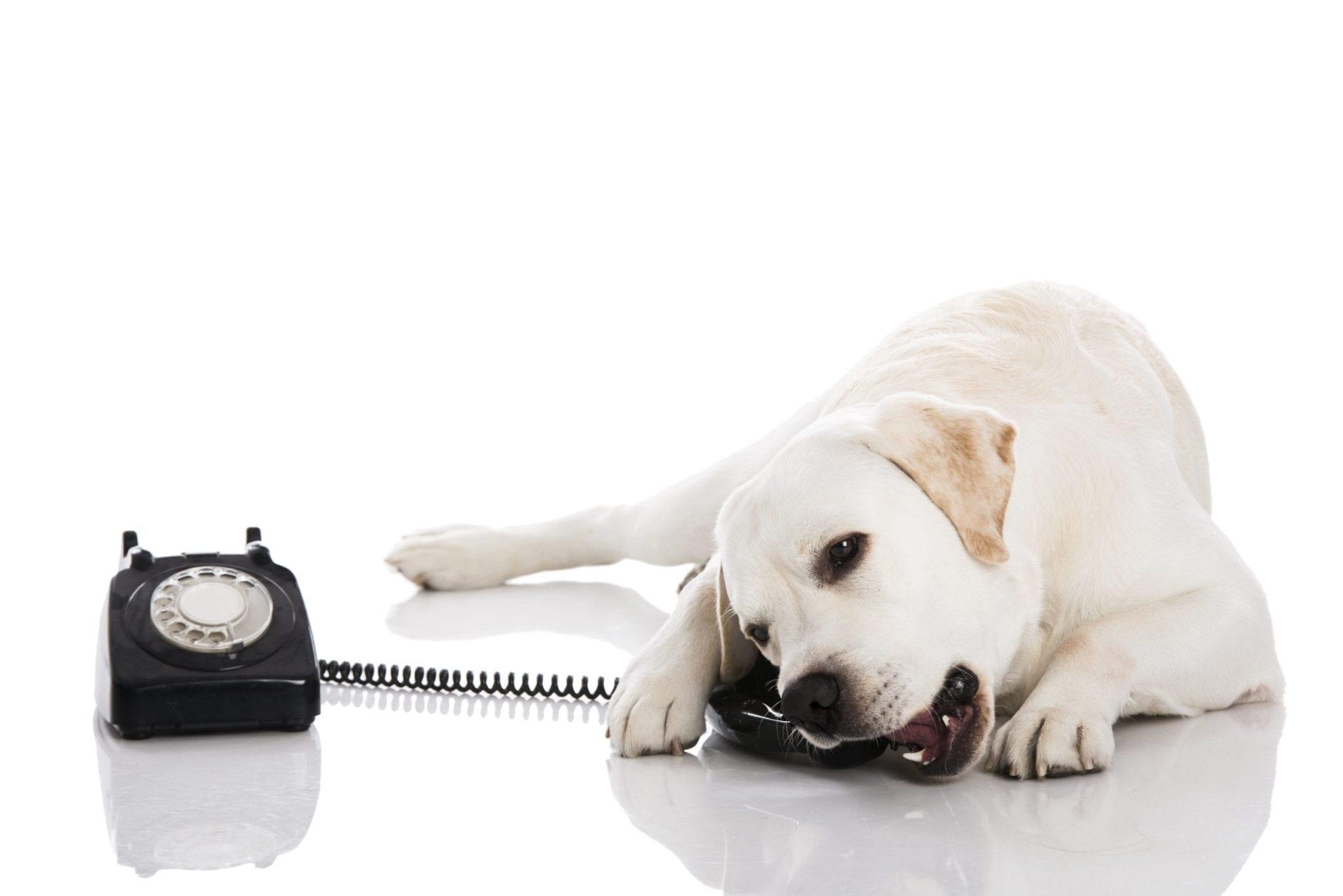 Beautiful labrador dog talking using a phone