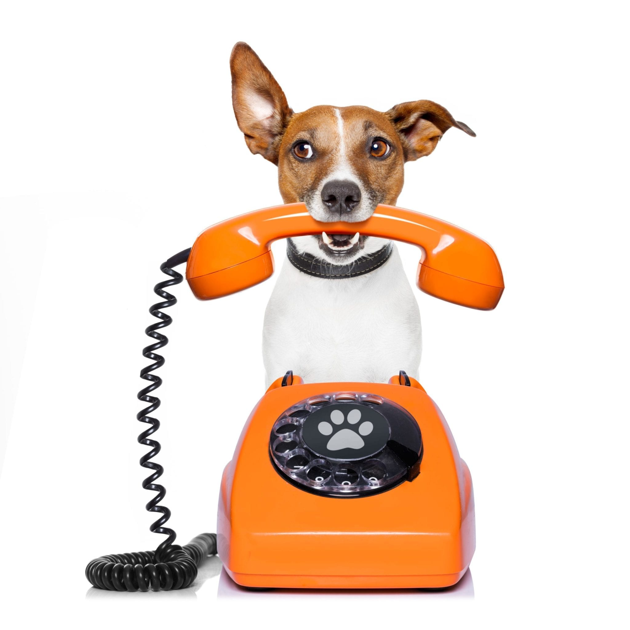 Jack russell dog with glasses as secretary or operator with red old  dial telephone or retro classic phone