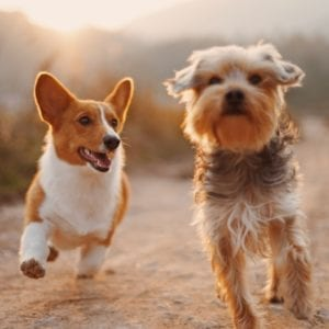 Dogs running together