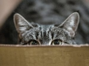 peeping-gray-cat-3389528