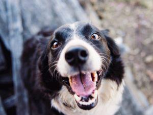 Collie dog showing teeth