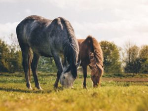 Horses grazing in the summer