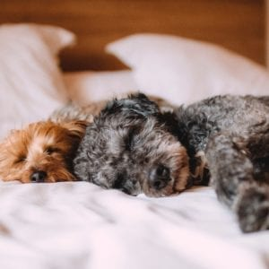 Two dogs asleep on bed
