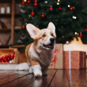 Corgi puppy near Christmas gifts