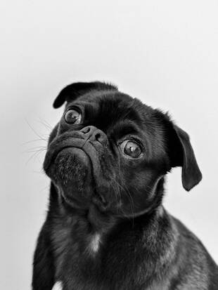 rsz_adult-black-pug-1851164-1536x2048-1
