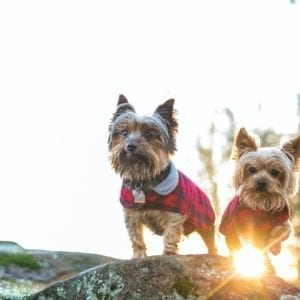 Two Yorkshire Terriers in coats outdoors